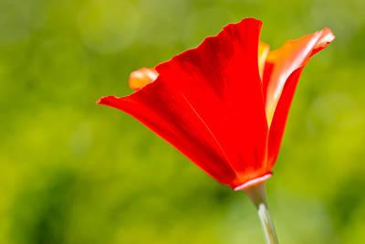 Mahogany California Poppy I Print by Heidi Smith