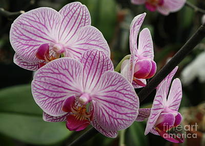 Majestic Orchids Print by Carol Groenen