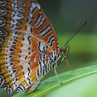 Malay Lacewing Butterfly Print by Zoe Ferrie