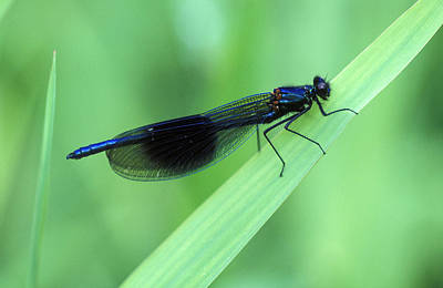 Male Banded Damselfly Print by Dr Keith Wheeler