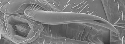 Male Bedbug's Sexual Organ, Sem Print by Power And Syred
