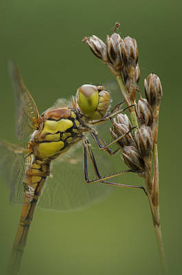 Male Common Darter Print by Andy Astbury