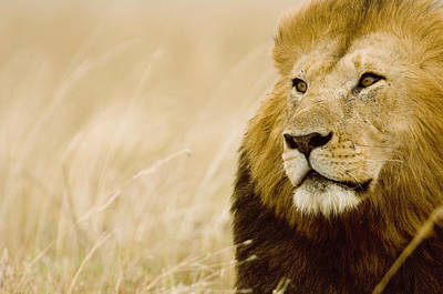 Of Felines Photograph - Male Lion (panthera Leo) Portrait, Masai Mara, Kenya by Federico Veronesi