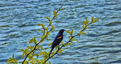 Blackbird Digital Art - Male Red-winged Blackbird by Bill Tiepelman