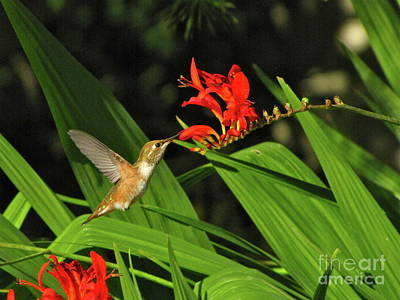 Nature Photograph - Male Rufous Hummingbird by Sean Griffin