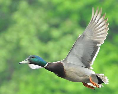 Ducks In Flight Photograph - Mallard Duck In Flight by Paul Ward