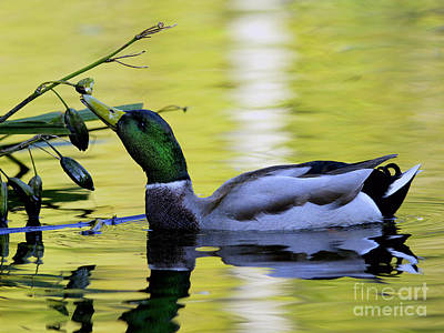 Drake Photograph - Mallard Eating Seed Pod by Sharon Talson
