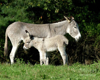 Mama Donkey And Baby Print by Deborah  Smith