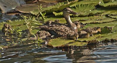 Mama Duck Babies On Pad Original by John Wright