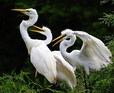 Mama Egrets With Her Babies Print by Paulette Thomas
