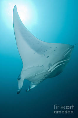Batoidea Photograph - Manta Ray, Ari And Male Atoll, Maldives by Mathieu Meur