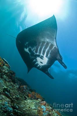 Batoidea Photograph - Manta Ray, Komodo, Indonesia by Mathieu Meur