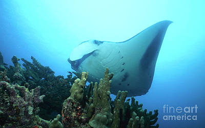 Manta Ray, Yap, Micronesia Print by Beverly Factor