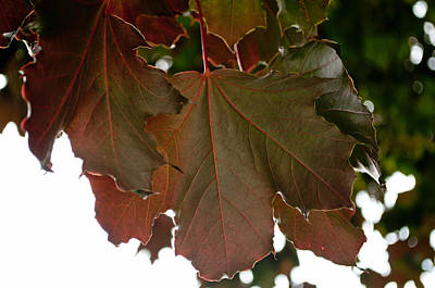 Photograph - Maple 2 by Tikvah's Hope