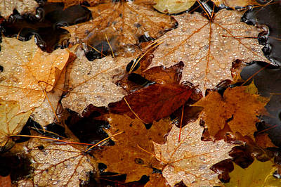 Maple Dew Drops Print by LeeAnn McLaneGoetz McLaneGoetzStudioLLCcom