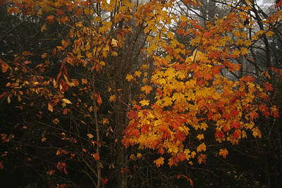 Rain Images Photograph - Maple Tree With Autumn Colored Leaves by Raymond Gehman