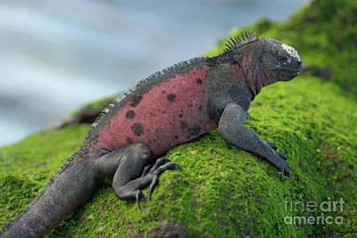 Marine Iguana On Rock Covered With Green Seaweed Print by Sami Sarkis