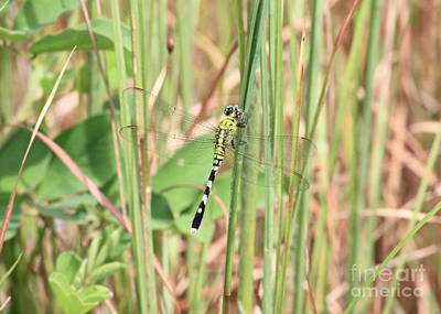Dragonfly Photograph - Marsh Standout by Carol Groenen