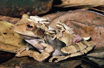 Marsupial Frog Photograph - Marsupial Frog Gastrotheca Ovifera by Michael & Patricia Fogden