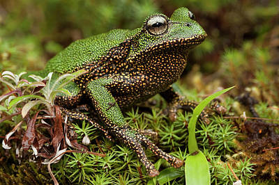Marsupial Frog Photograph - Marsupial Frog Gastrotheca Sp, A Newly by Pete Oxford