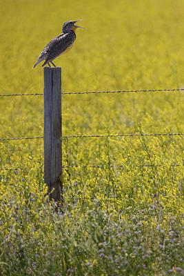 Meadowlark Singing Print by Randall Nyhof