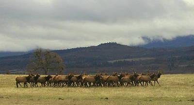 Roaming Elk Photograph - Medford Elk Herd 2 by Cindy Wright
