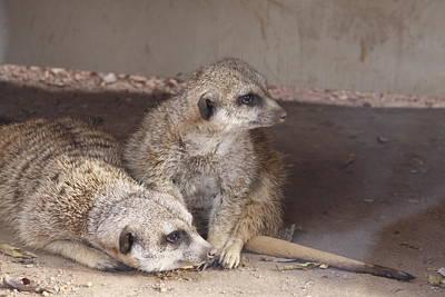 Meerkats Print by Linda A Waterhouse