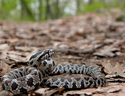Snake Photograph - Milk Snake by Griffin Harris
