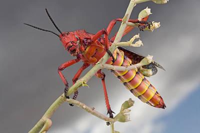 Piotr Naskrecki Photograph - Milkweed Grasshopper South Africa by Piotr Naskrecki