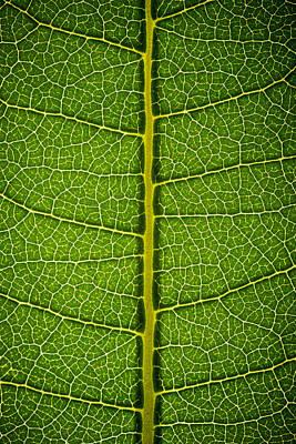 Milkweed Photograph - Milkweed Leaf by Steve Gadomski