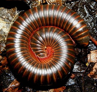 Insects Photograph - Millipede Spiral by Griffin Harris