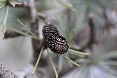 Miniature Pine Cone  Print by Douglas Barnard