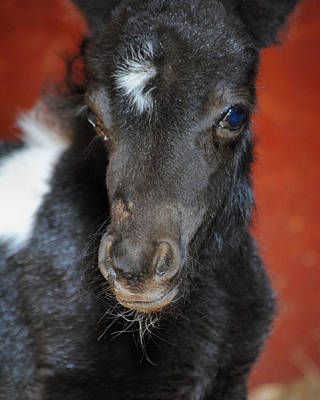 Oreo Photograph - Miniature Pony Portrait by Jai Johnson