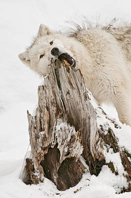 Black. Arctic Wolf Photograph - Mmmm...... by Michael Cummings