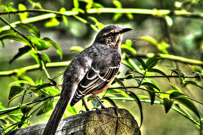Mocking Bird Picture 2 Print by Ester  Rogers