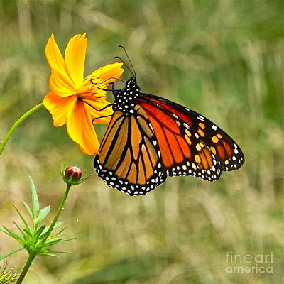 Monarch Butterfly And Yellow Cosmos Print by Byron Varvarigos