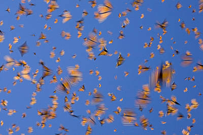 Butterfly In Motion Photograph - Monarch Butterfly Frenzy by Ingo Arndt