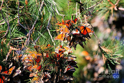 Monarch Butterfly Gathering Print by Tap  On Photo