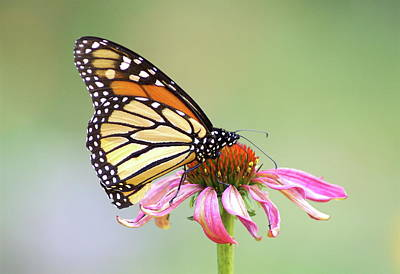 Monarch Butterfly On Flower Print by Greg Adams Photography