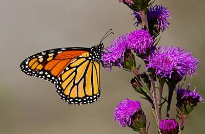 Eating Entomology Photograph - Monarch by Mircea Costina Photography