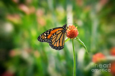 Flower Photograph - Monarch On Orange by Susan Isakson