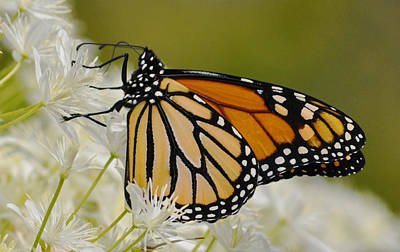 Monarch  Print by Rodney Campbell