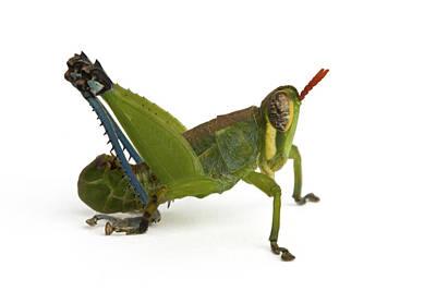 Piotr Naskrecki Photograph - Monkey Grasshopper Silaka Nature Reserve by Piotr Naskrecki