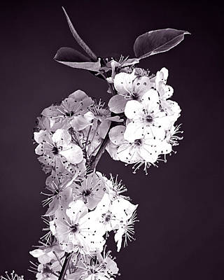 Trumpet Photograph - Monochrome Blossoms by M K  Miller