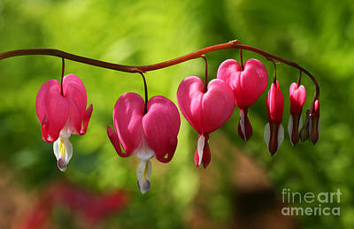 Month Of May Bleeding Hearts Print by Steve Augustin