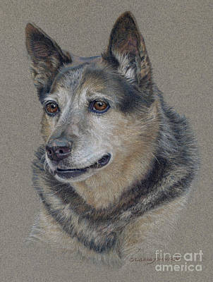 Cattle Dog Drawing - Morgan by Gloria Johnson