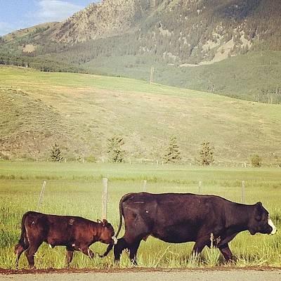 Cow Photograph - Morning Commute by Ashton L