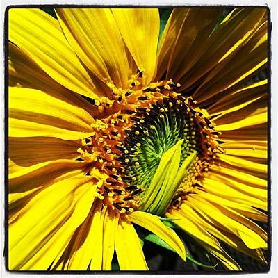 Sunflowers Photograph - Morning Sun by Gwyn Newcombe
