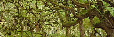 Moss-covered Trees Print by David Nunuk