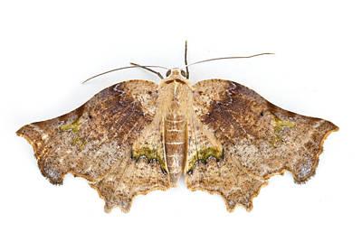 Moth Braulio Carrillo Np Costa Rica Print by Piotr Naskrecki